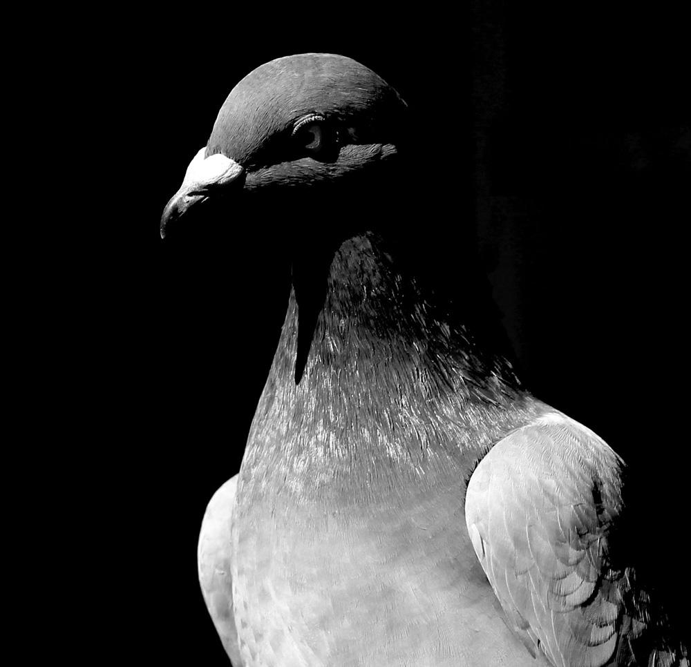 "photo ""Le Pigeon Bleu"" tags: black&white, pigeon"