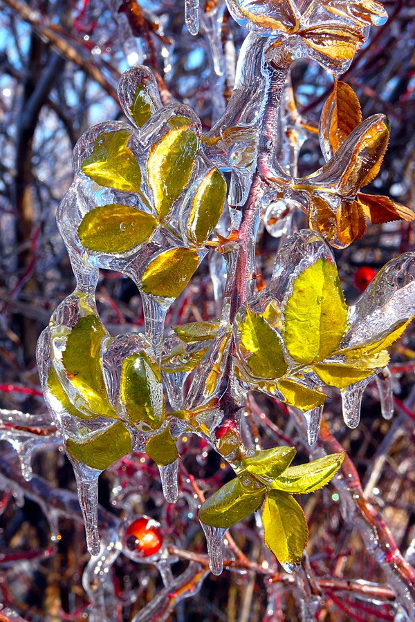 "photo ""Winter jewel"" tags: nature, macro and close-up, Ice, branch, forest, leaves, plants, romania, winter"