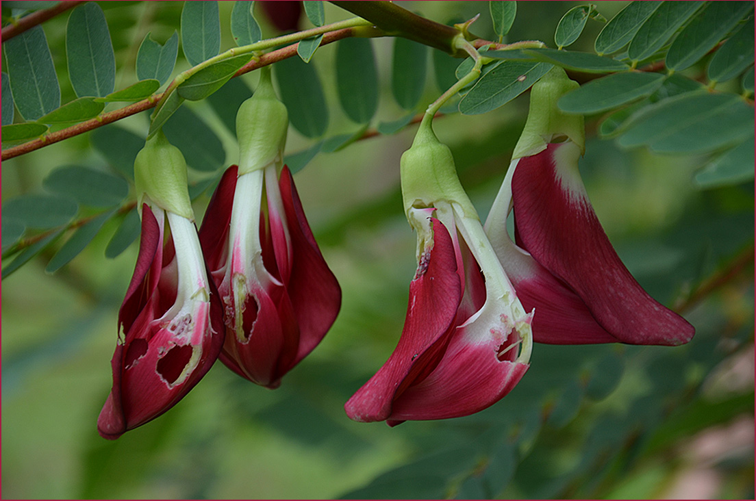 """фото """"Сесбания"""" метки: природа, путешествия, цветы"""