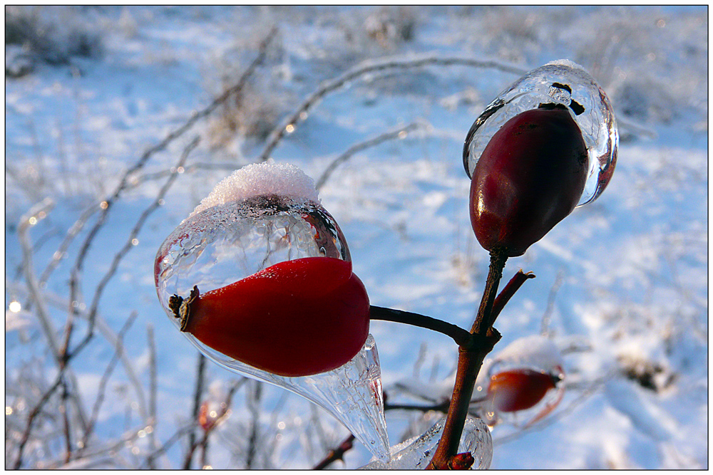 "photo ""Ice drops"" tags: macro and close-up, nature, Ice, details, plants, snow, wild rose, winter"