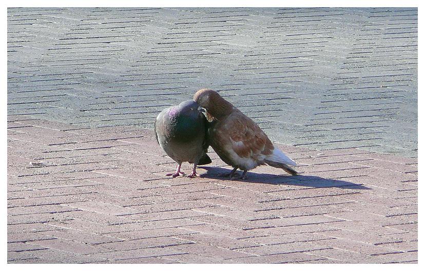 """фото """"Воркуют..."""" метки: разное, птицы"""