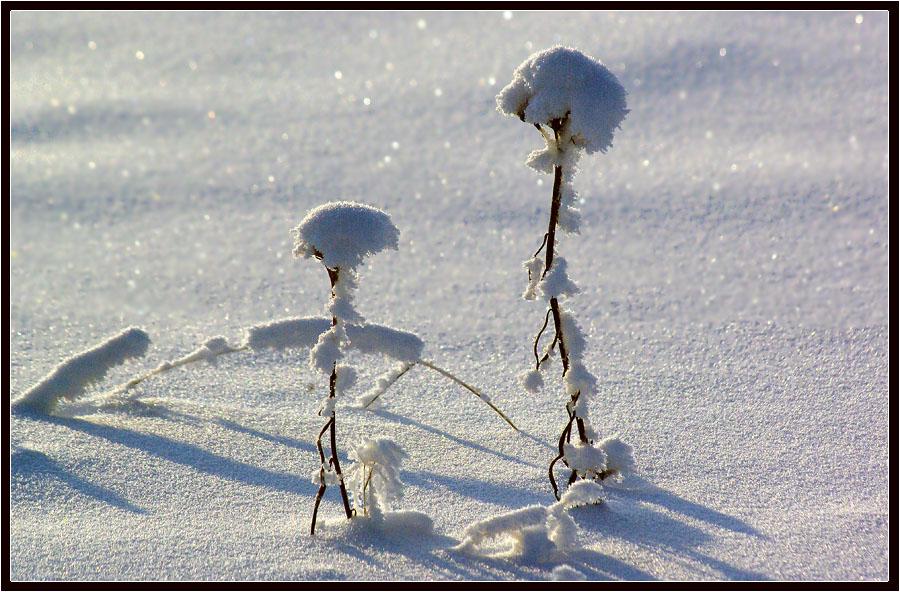 "фото ""В зимних нарядах"" метки: природа, зима, травинки"