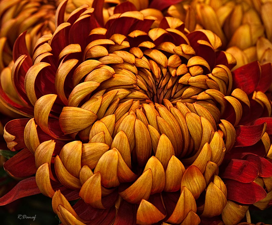 "photo ""Dhalia"" tags: nature, macro and close-up, flowers"