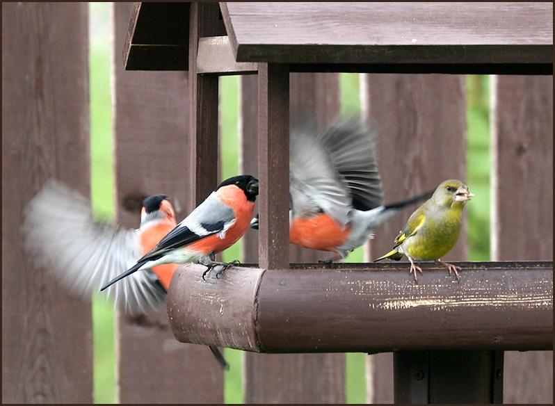 "фото ""Ухажёры"" метки: природа, птицы"