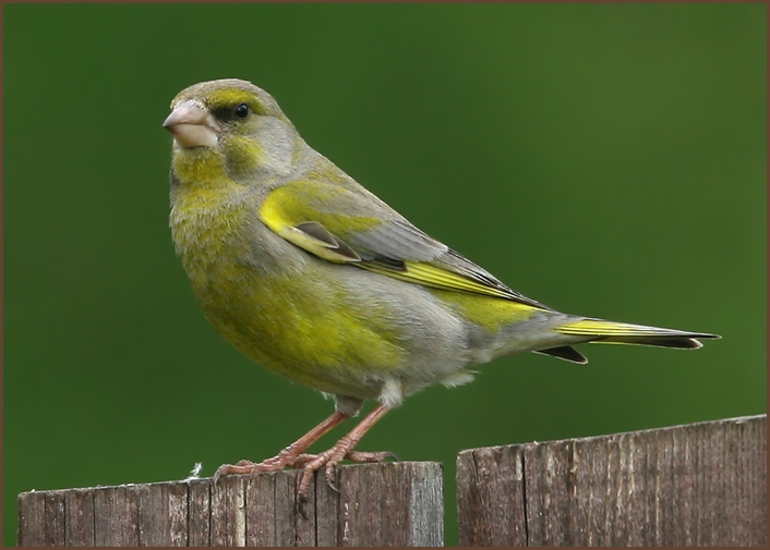 "photo ""Just greenfinch"" tags: nature, Зеленушка"