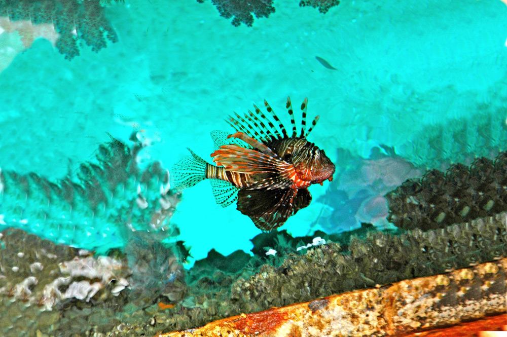 "photo ""Pterois Volitans"" tags: underwater, HURGHADA, RED SEA, REEFS, animals, coastline, diving, egypt, ocean, seas, water"