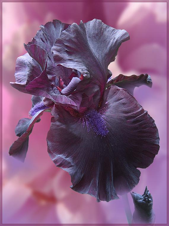"""фото """"Для Любы Селивановой и всем,кто любит ирисы"""" метки: природа, digital art, фотомонтаж, ирисы, лето, цветы"""