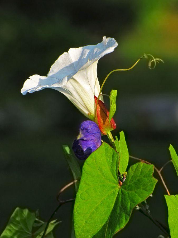 """фото """"...вспоминая лето..."""" метки: природа, макро и крупный план, лето, цветы"""
