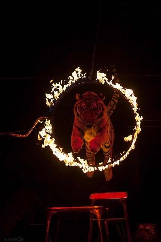 """фото """"Прыжок"""" метки: репортаж, разное, тигр, цирк"""