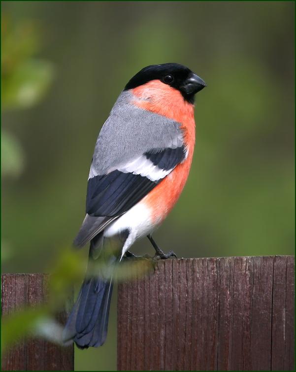 "photo ""Summer bullfinch"" tags: nature, summer, снегирь"