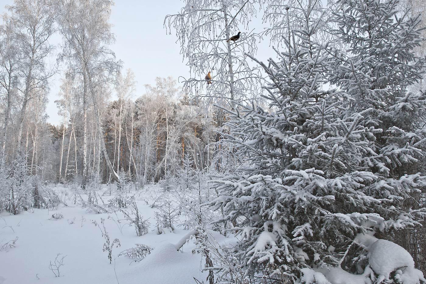 """фото """"На лесной поляне"""" метки: природа, березы, куржак, мороз, сибирь, снег"""