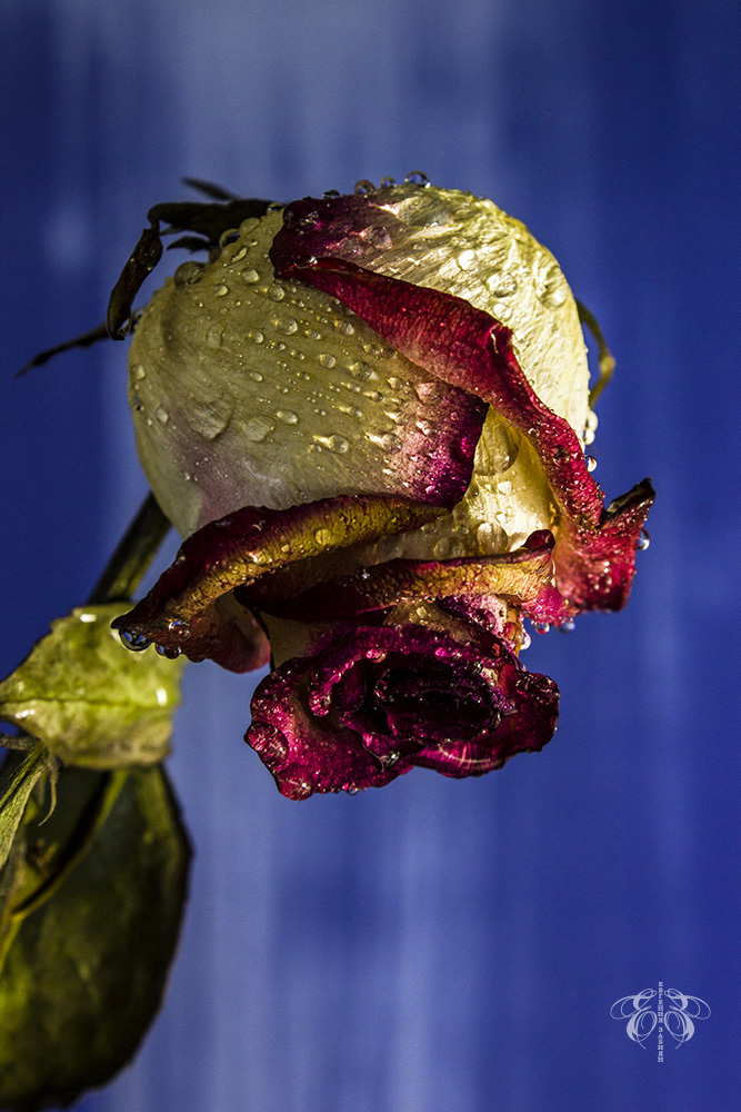 "photo ""***"" tags: still life, flowers, rose, капли, натюрморт"
