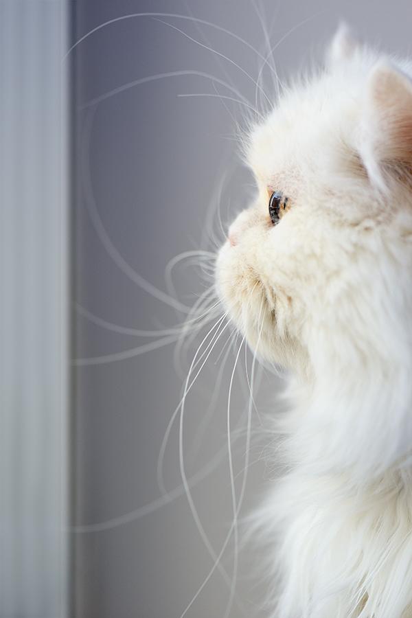 """фото """"Кошки умеют ждать..."""" метки: макро и крупный план, кошки"""
