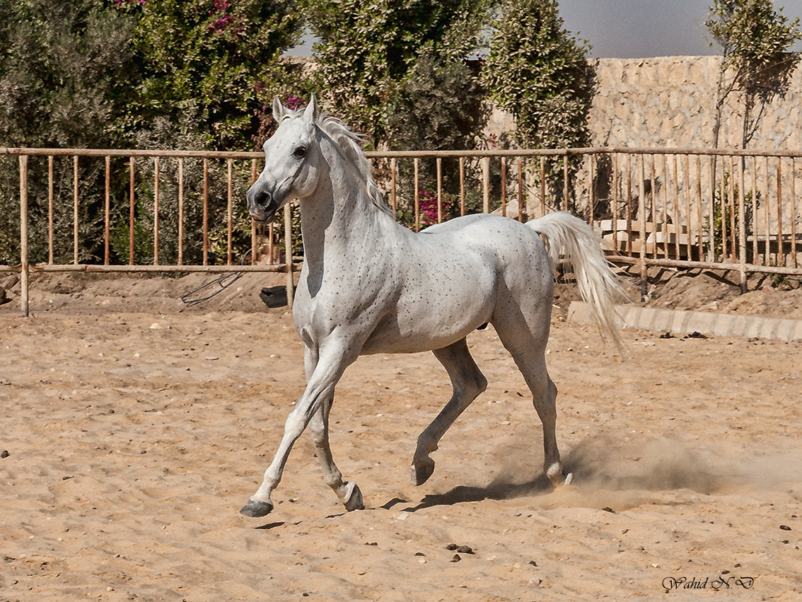 "photo ""Arabian beauty # 3"" tags: reporting, Africa, pets/farm animals"