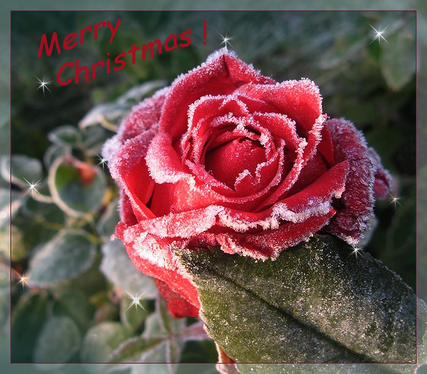 "photo ""Merry X-mas, my dear friends!"" tags: nature, flowers, Новый Год, розы"