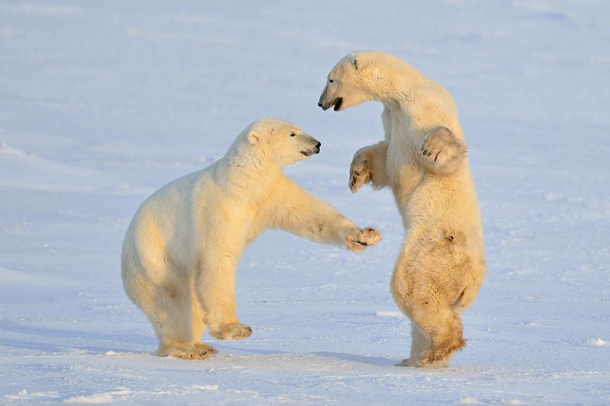 """фото """"Polar bear style"""" метки: природа,"""