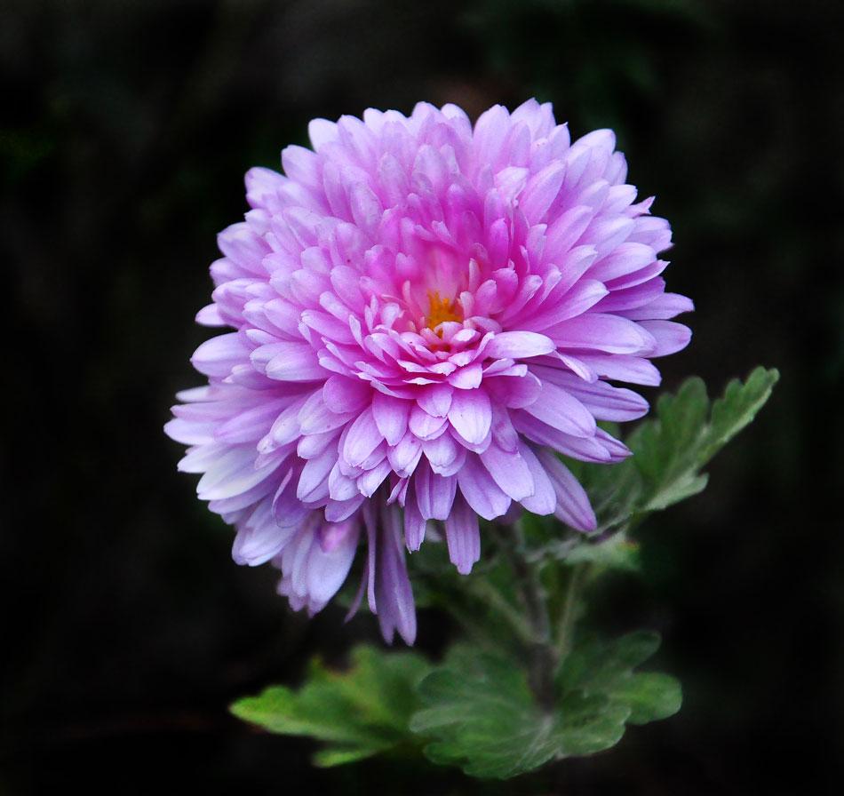 """фото """"Хризантема"""" метки: макро и крупный план, хризантема, цветок"""