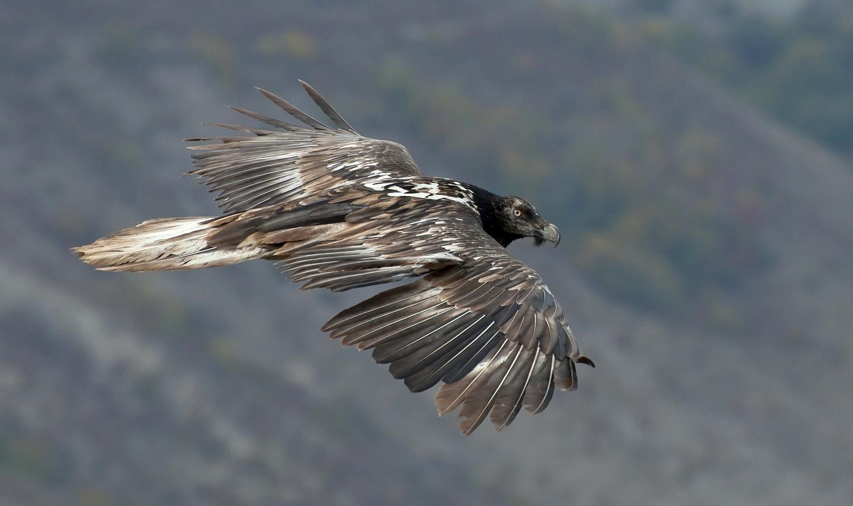 """фото """"Бородач в полете"""" метки: , бородач, взгляд, дикие животные, крылья, полет, размах"""