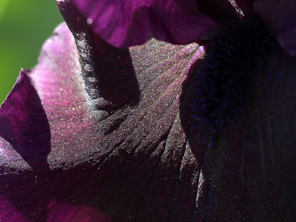 "photo ""Purple and Black"" tags: macro and close-up, nature, Just a hint of the flower peta, flowers"