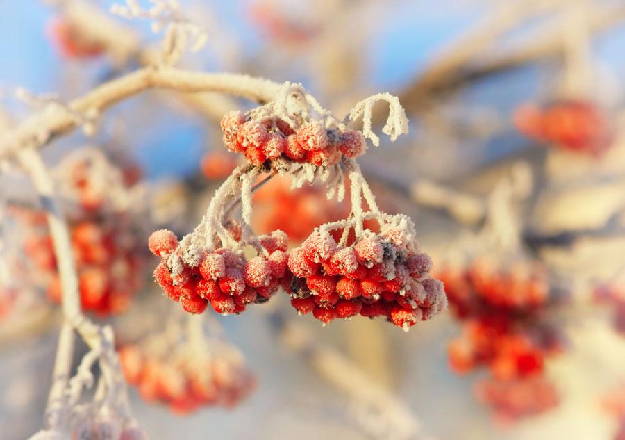 "фото ""самая зимняя ягода"" метки: природа,"