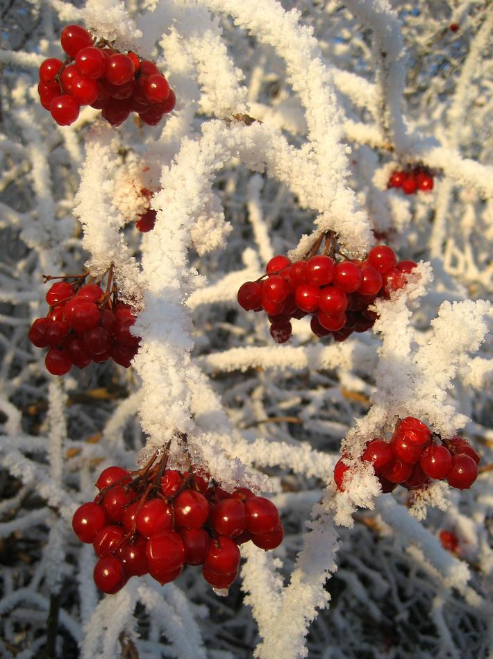 """фото """"Berries"""" метки: природа, frost"""
