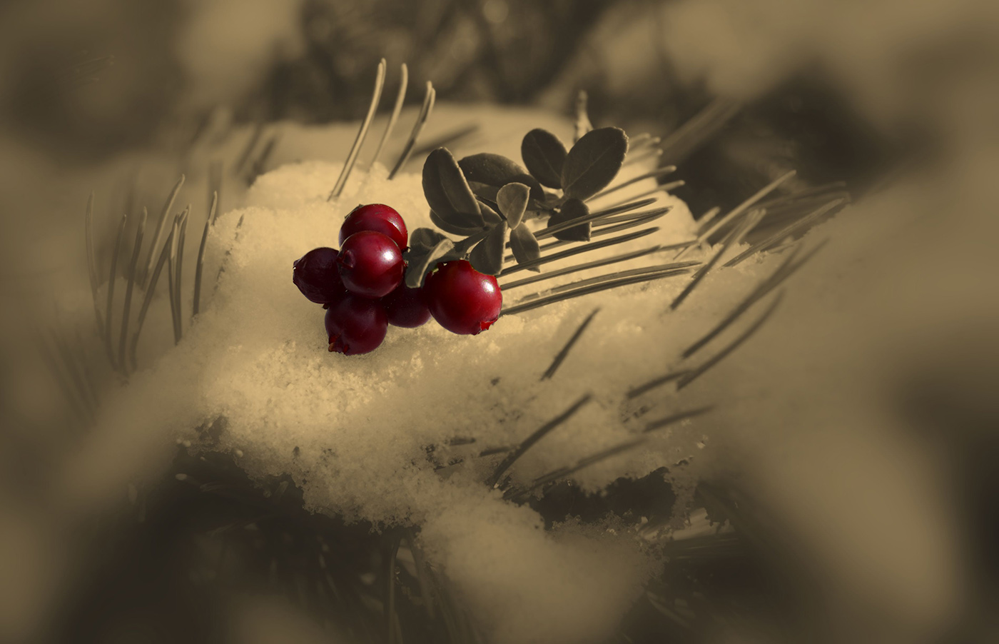 "photo ""***"" tags: macro and close-up, snow, брусника, стланник, ягода"