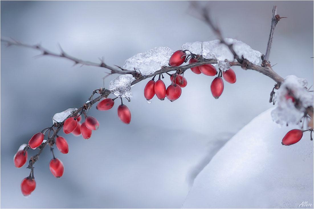"""фото """"Коралловые ягодки барбариса"""" метки: природа,"""