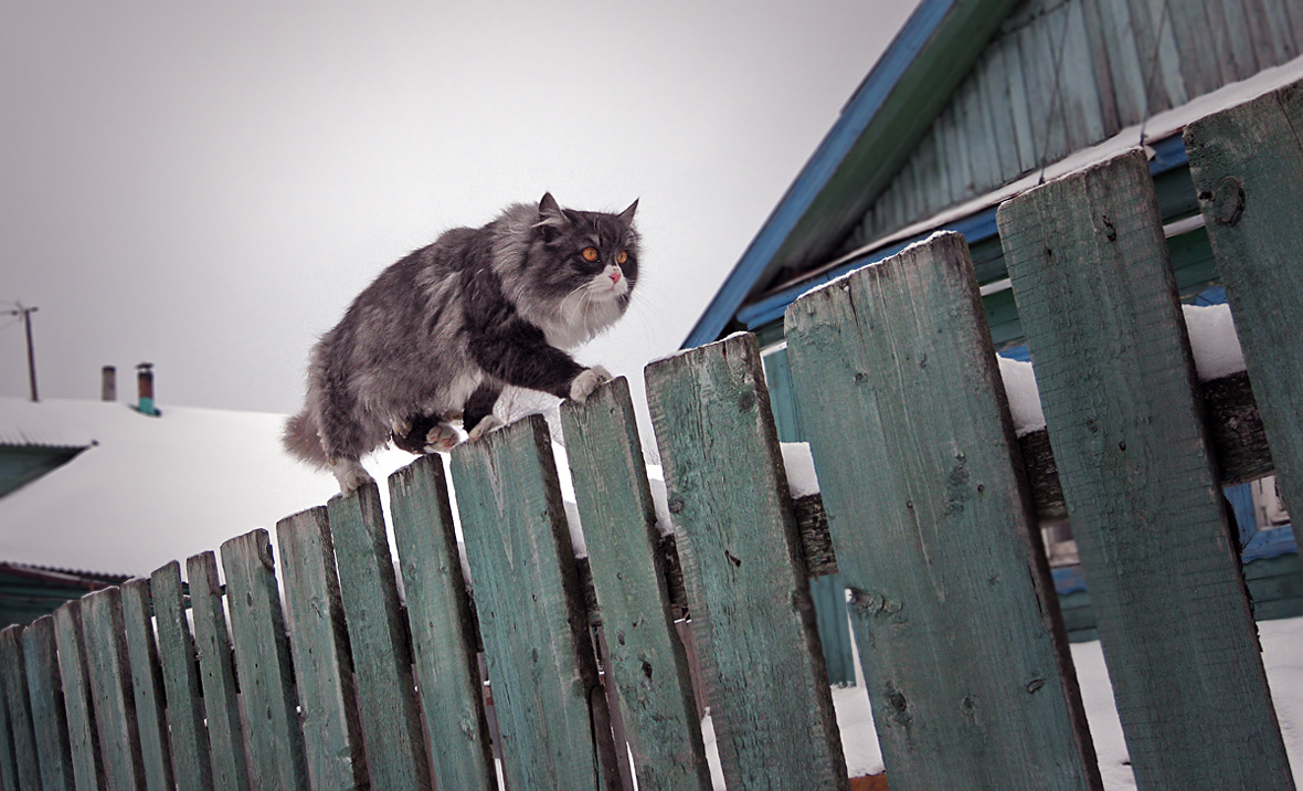 "фото ""По делам, по забору"" метки: природа, забор, зима, кот, снег"