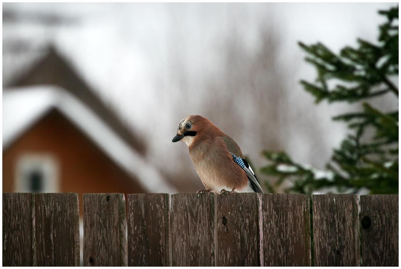 """фото """"С Рождеством, соседи!"""" метки: природа, Сойка"""
