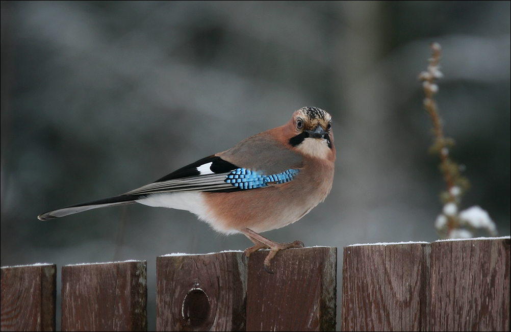 "photo ""New year's Jay - 2"" tags: nature, Сойка"