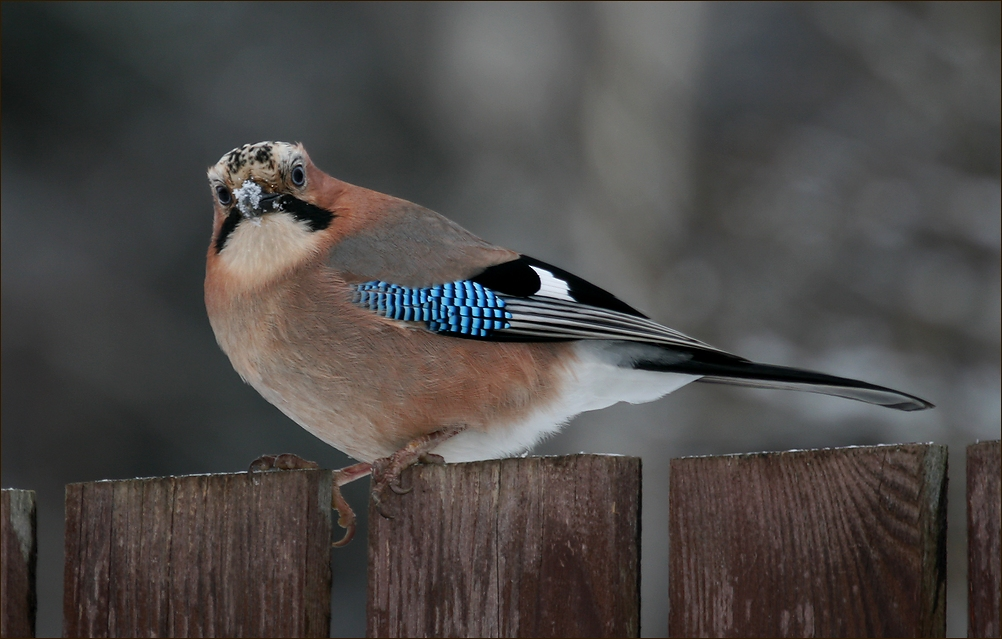 "photo ""New year's Jay - 3"" tags: nature, Сойка"