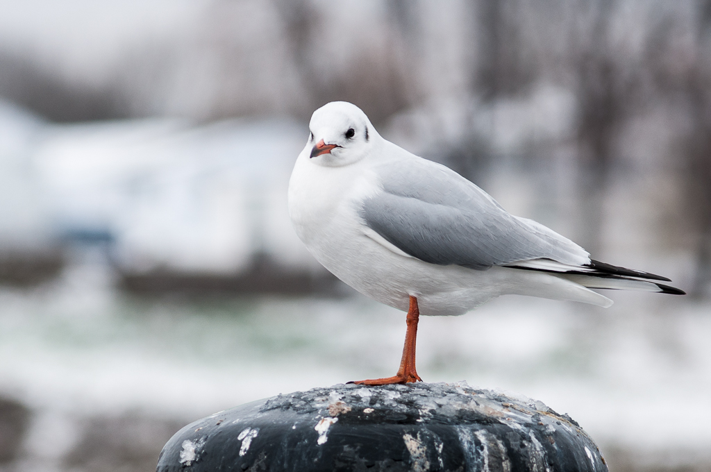 "фото ""Чайка"" метки: путешествия, природа, птица, чайка"
