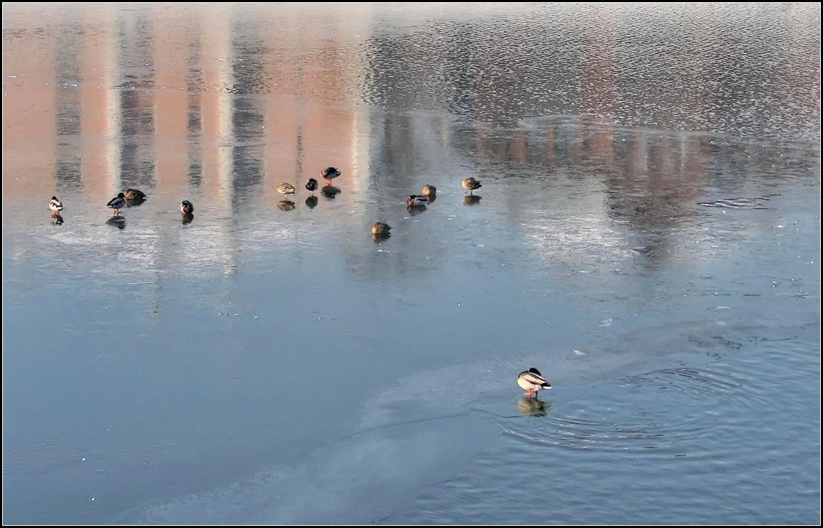 "фото ""утки на льду"" метки: природа, город,"