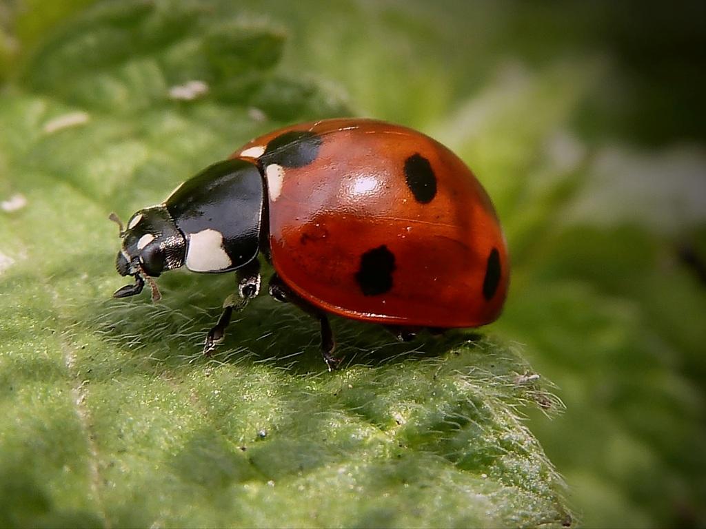 "фото ""далеко на лугу.."" метки: макро и крупный план, природа, насекомое"