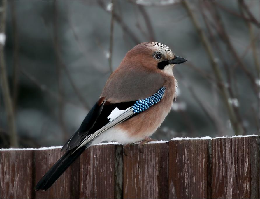 "photo ""New year's Jay - 4"" tags: nature, Сойка"