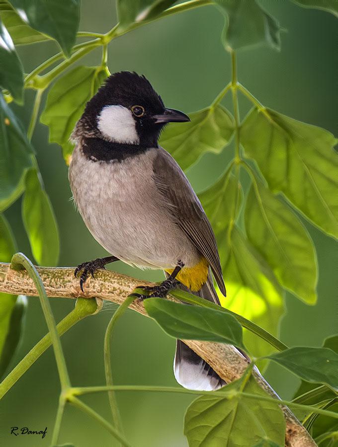 """photo """"Bulbul"""" tags: nature, bird"""