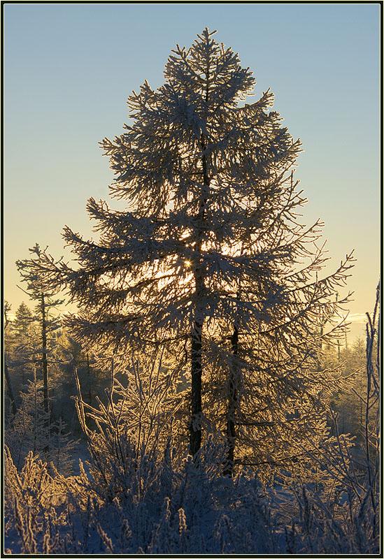 "фото ""Мороз и солнце"" метки: пейзаж, лиственница мороз зима тайга с"