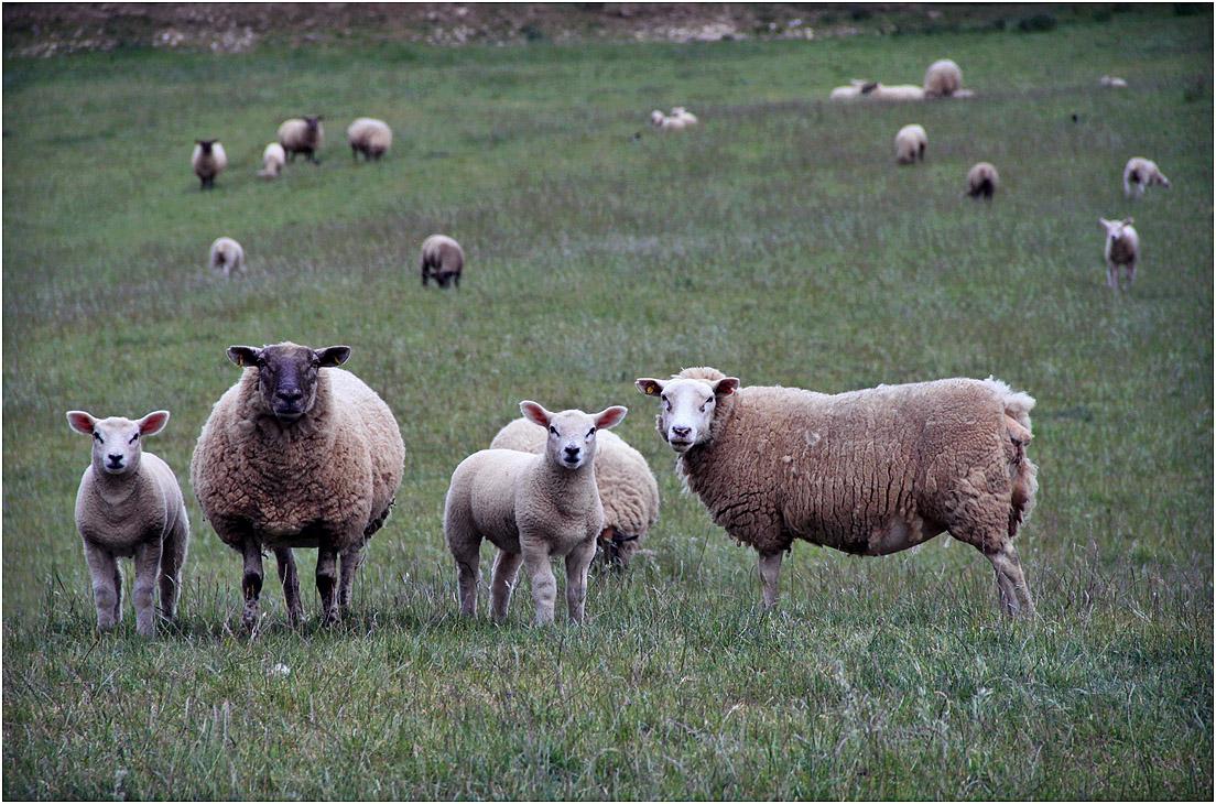 """фото """"Семейное фото."""" метки: , домашние животные, овцы"""