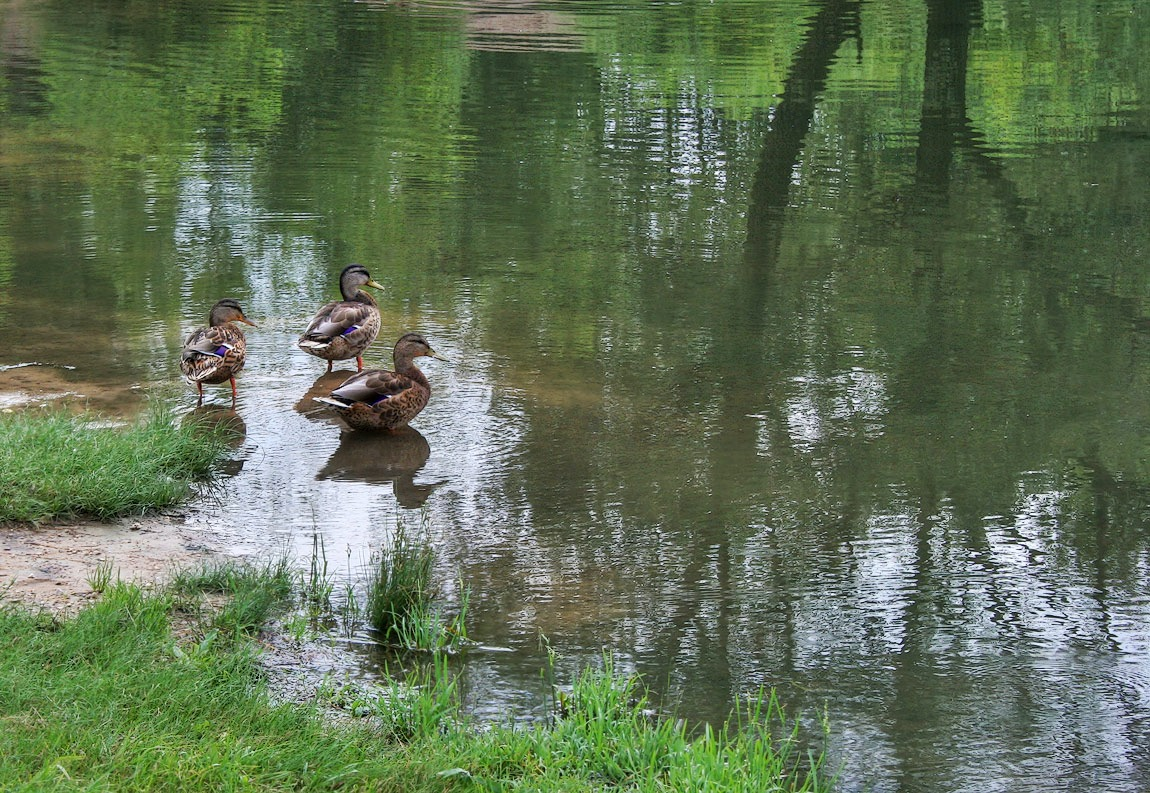 "photo ""of ducks"" tags: nature,"