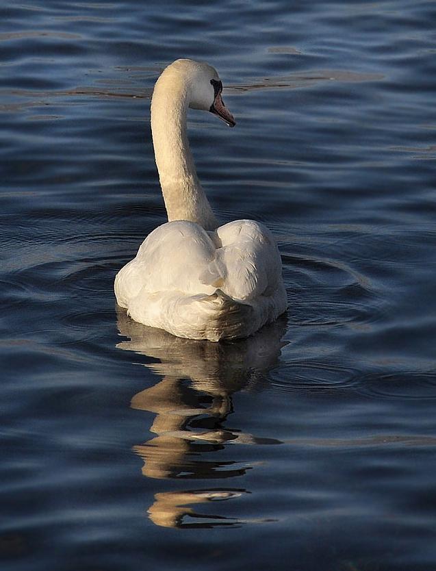 "фото ""Вечернее одиночество"" метки: природа, лебедь, море"
