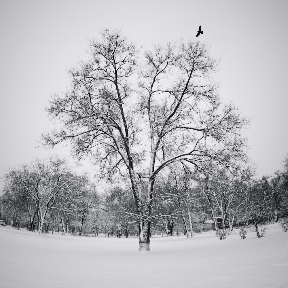 "photo ""The tree"" tags: landscape, nature, panoramic, bird, tree, winter"