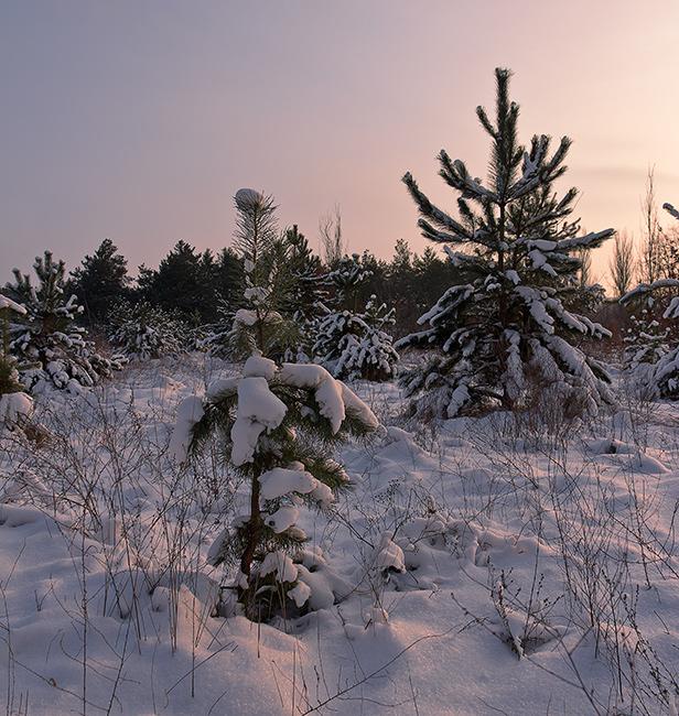 """фото """"А вот и к нам пришла зима!"""" метки: пейзаж, Запорожье, Украина, вечер, зима, о. Хортица, снег, солнце, сосны, январь"""