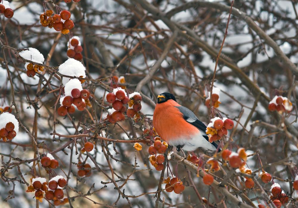 """фото """"Снегирь"""" метки: природа, декоративные фруктовые деревья, зима, мир животных, плоды, птицы, снегири, яблоня декоративная"""