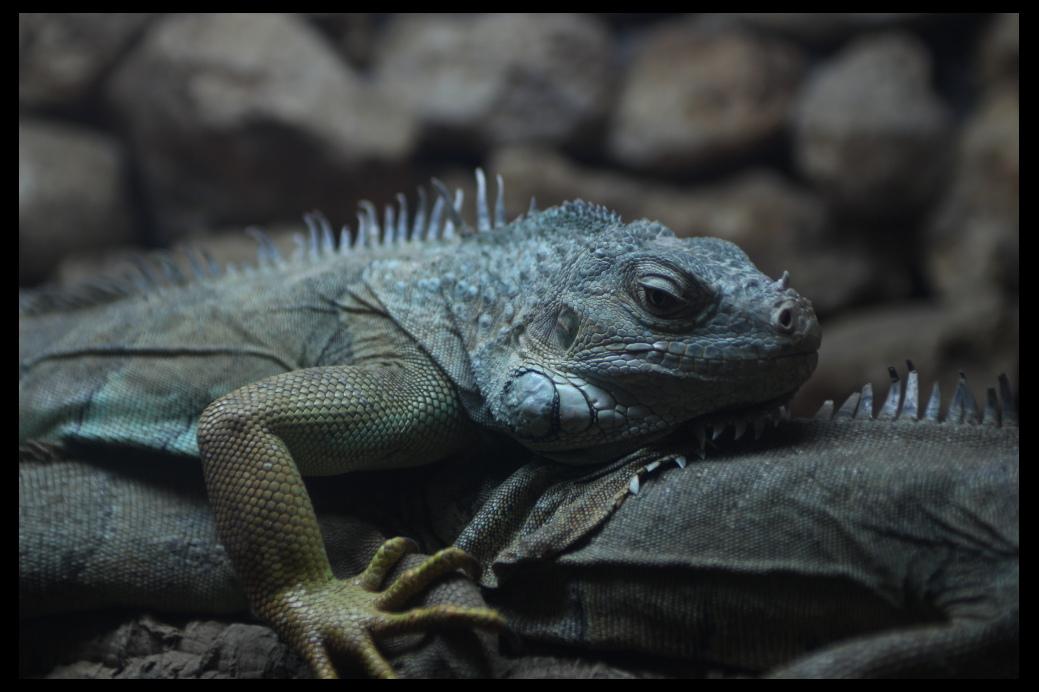"""фото """"Iguana"""" метки: природа, Castellar, Europe, Iguana, дикие животные"""