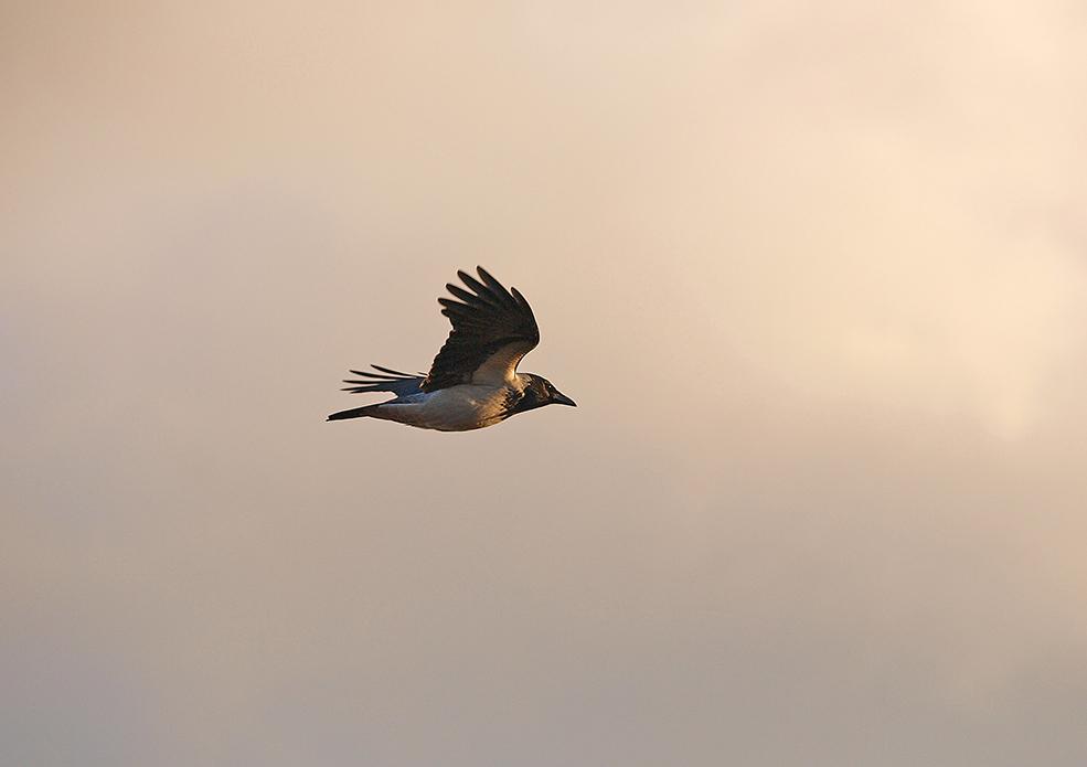 "фото ""Evening Crowe"" метки: природа,"