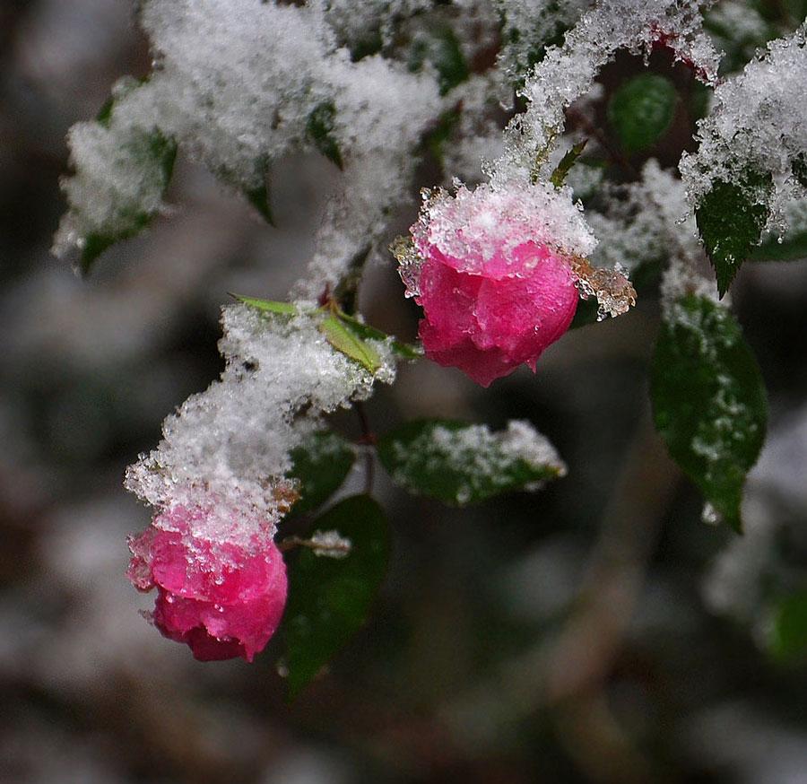 """фото """"Когда подтаяла зима"""" метки: макро и крупный план, зима, цветы"""