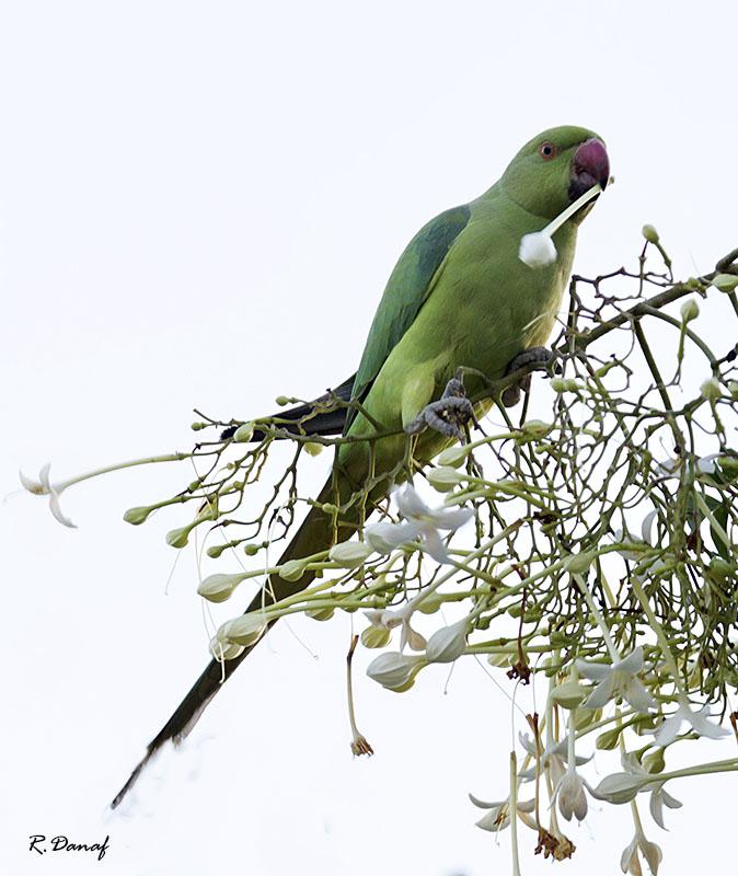 """фото """"The parrot 02"""" метки: природа, птица"""