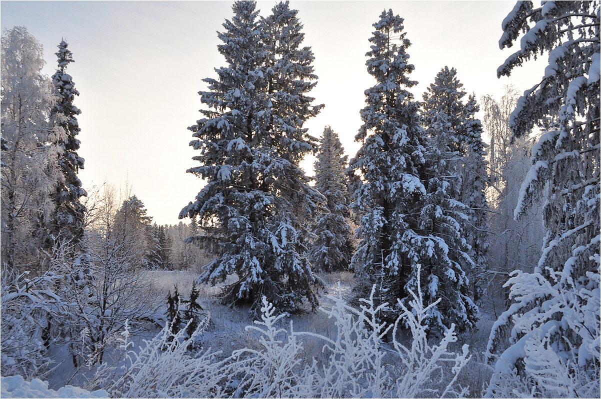 "фото ""Январь"" метки: пейзаж, ели, закат, зима, иней, лес, снег"