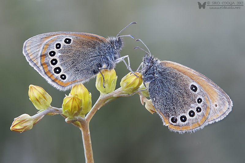 "photo ""2 Coenonympha glycerion"" tags: nature, macro and close-up, Coenonympha glycerion butterfl"