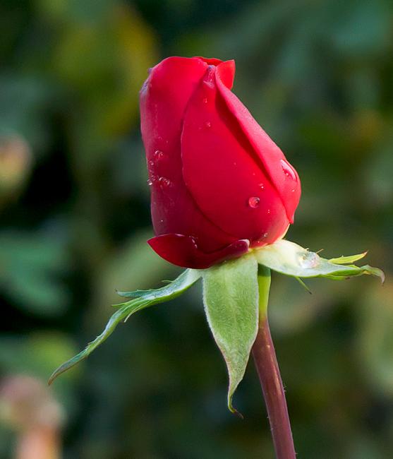 страна самая красивая одинокая роза фото современный отделочный материал